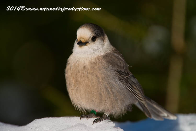 Gray Jay Picture-485