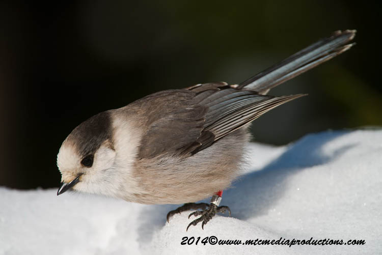 Gray Jay Picture-486