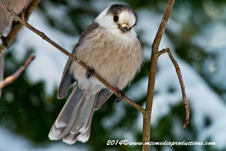 Gray Jay Picture-487
