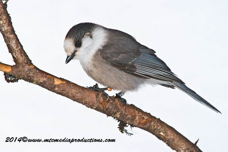 Gray Jay Picture-488