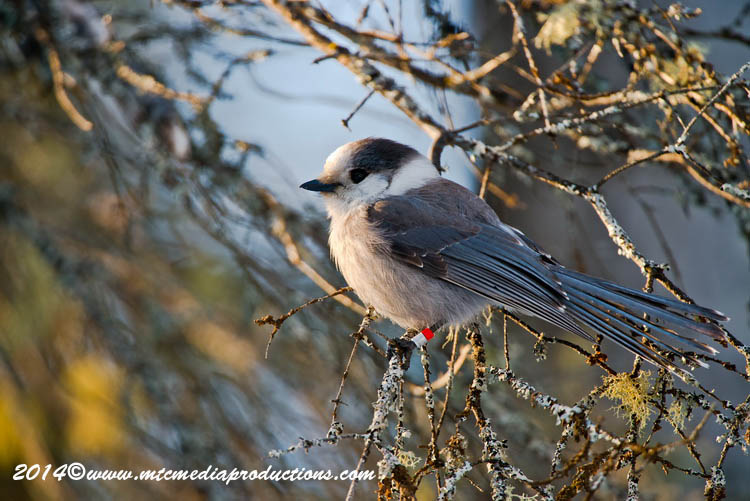 Gray Jay Picture-489