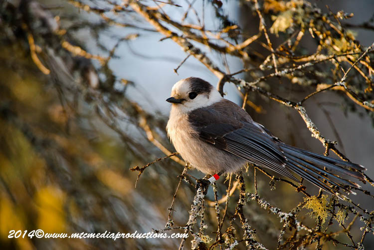 Gray Jay Picture-490