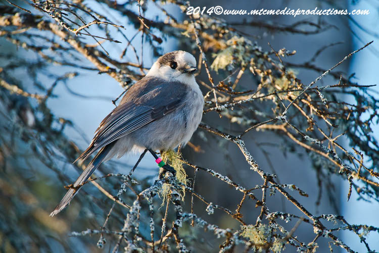 Gray Jay Picture-491
