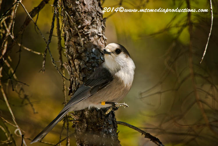Gray Jay Picture-492