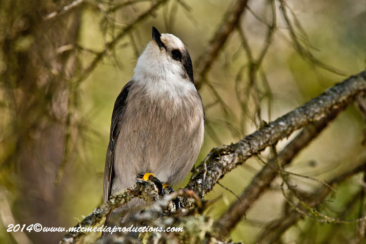 Gray Jay Picture-493