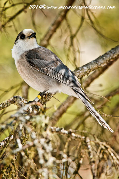 Gray Jay Picture-494