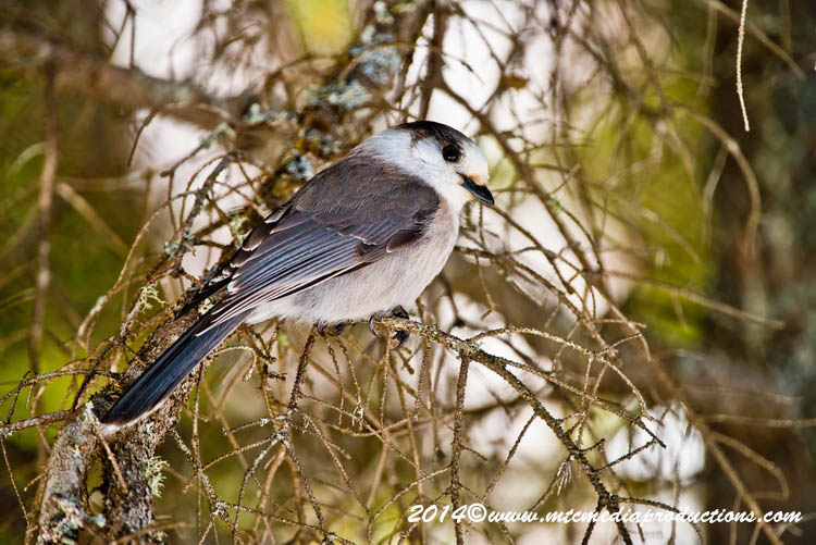 Gray Jay Picture-495