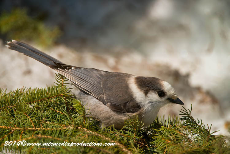Gray Jay Picture-496