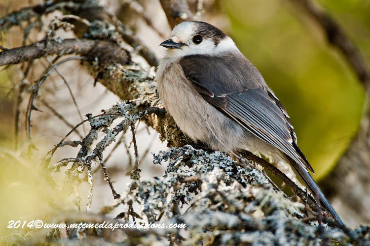 Gray Jay Picture-497