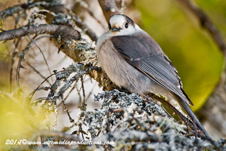 Gray Jay Picture-498