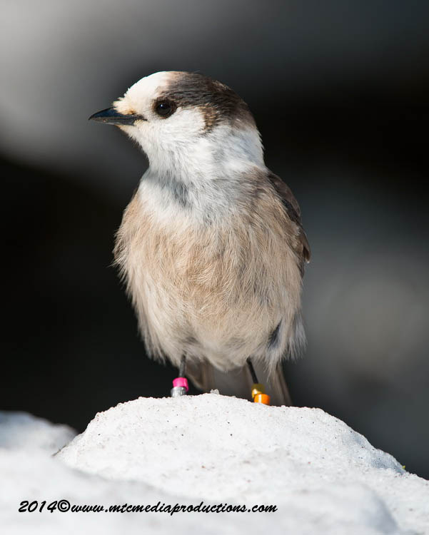Gray Jay Picture-499