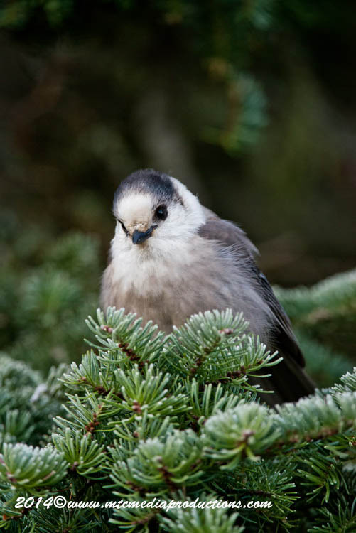 Gray Jay Picture-500