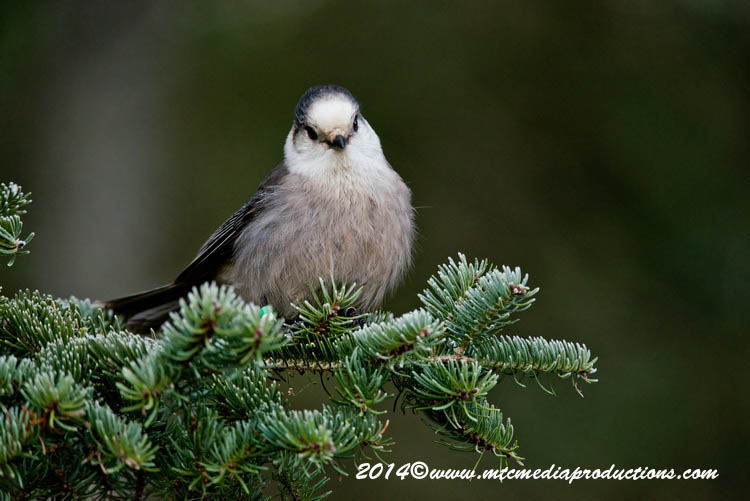Gray Jay Picture-501