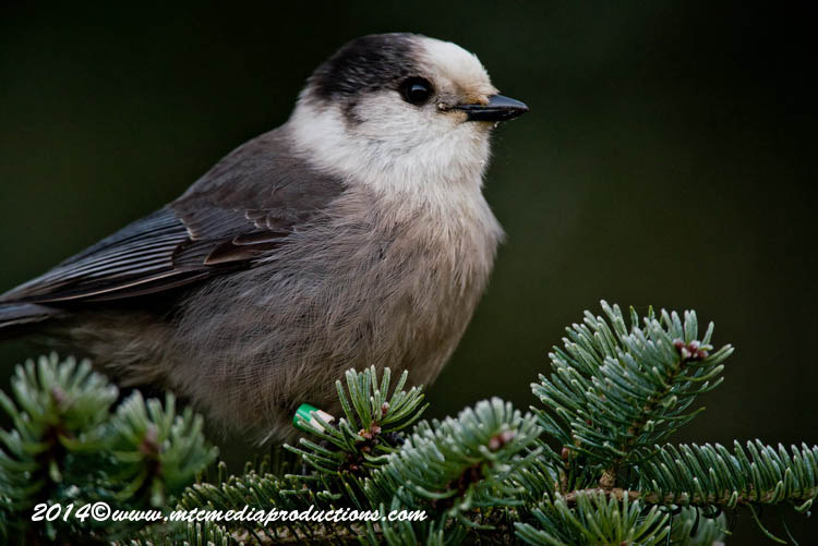 Gray Jay Picture-505