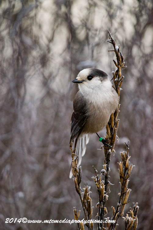 Gray Jay Picture-504