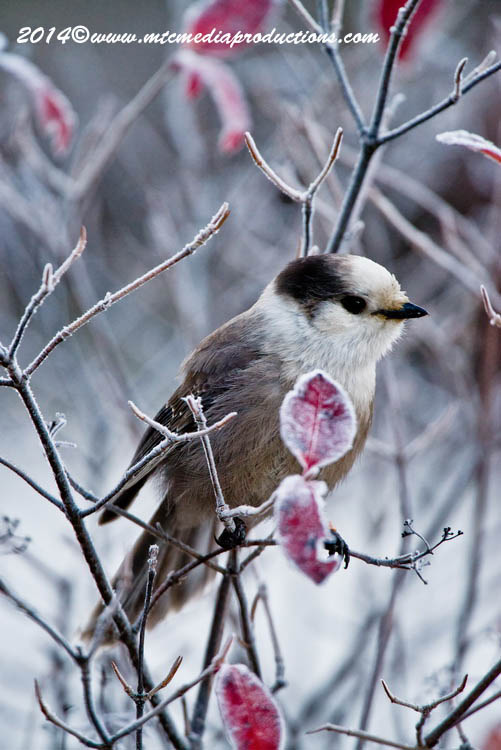 Gray Jay Picture-506