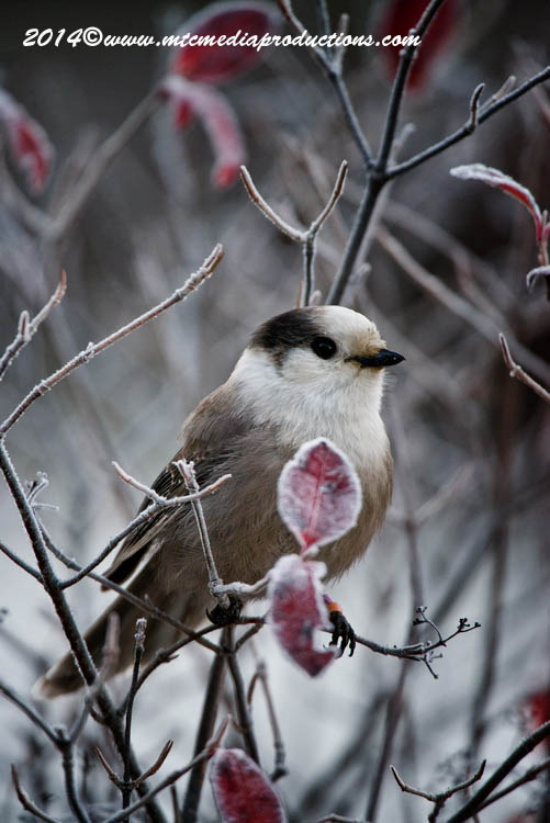 Gray Jay Picture-507