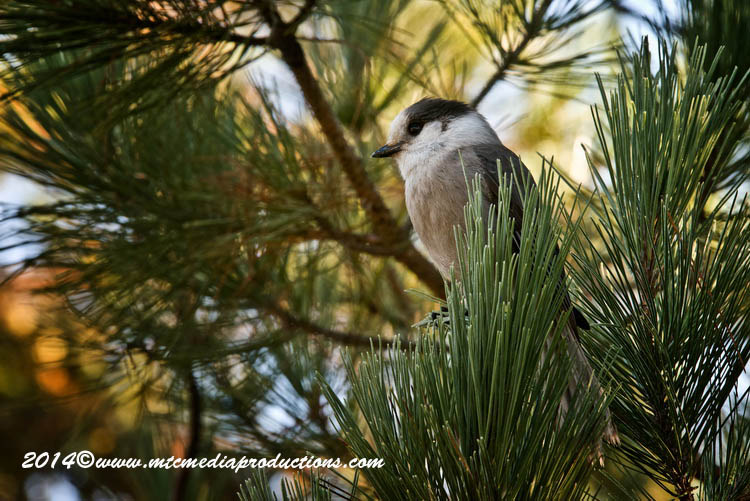 Gray Jay Picture-508