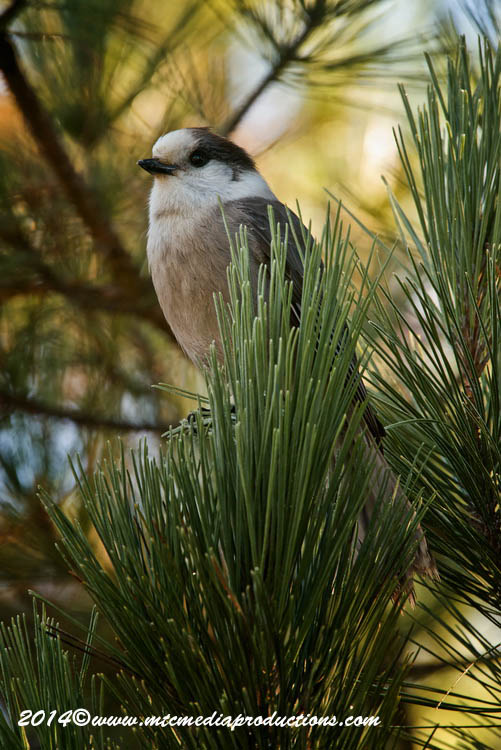 Gray Jay Picture-509