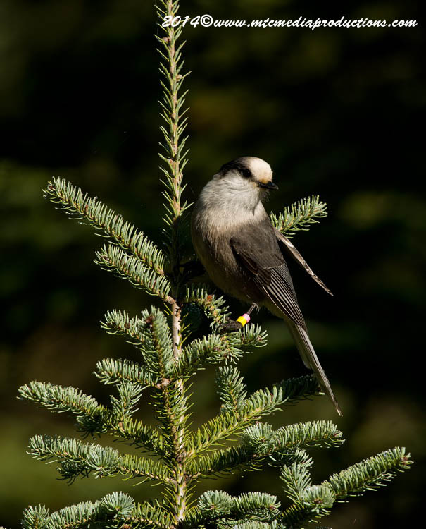 Gray Jay Picture-511