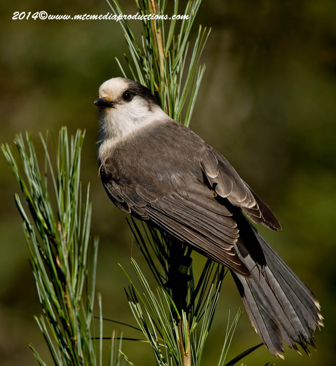Gray Jay Picture-512