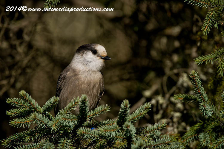 Gray Jay Picture-513