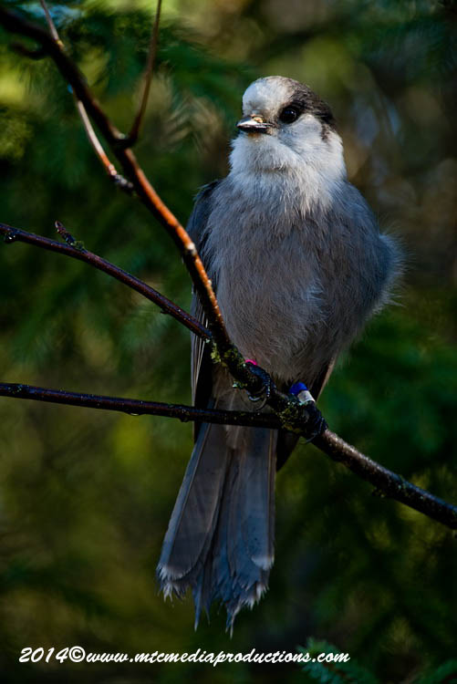 Gray Jay Picture-514