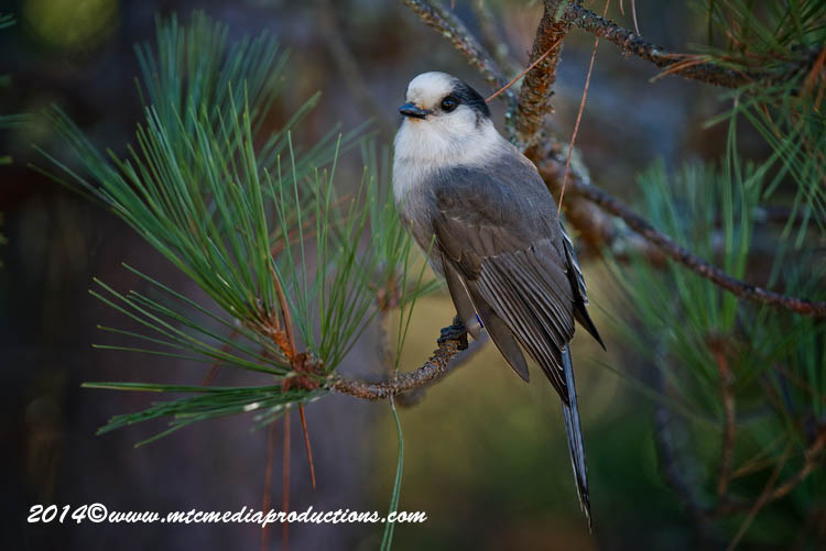 Gray Jay Picture-515