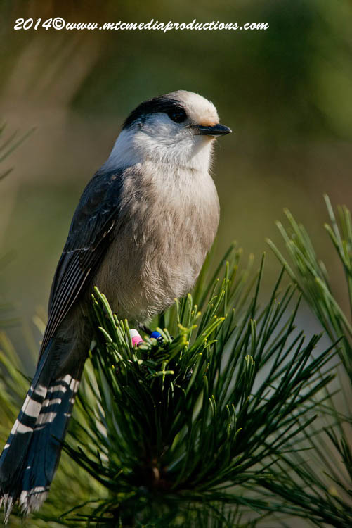 Gray Jay Picture-516