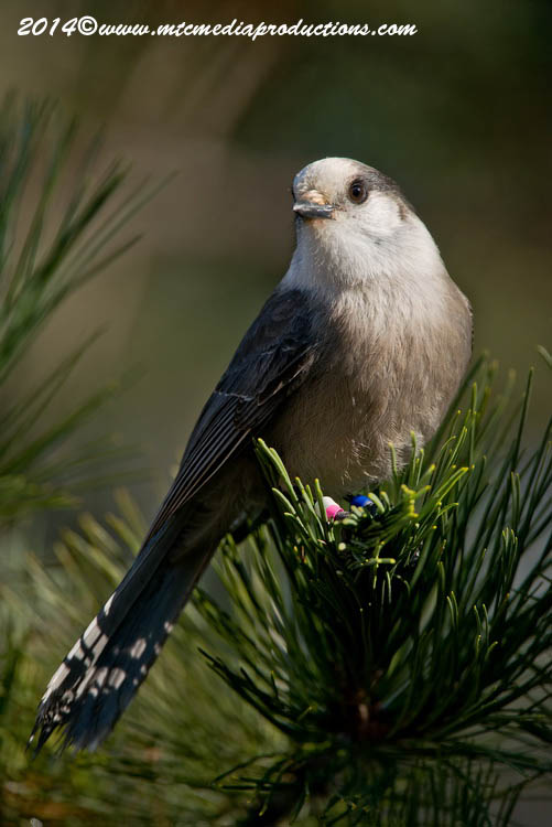 Gray Jay Picture-517