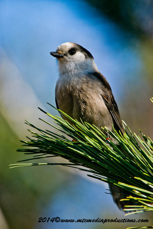Gray Jay Picture-518