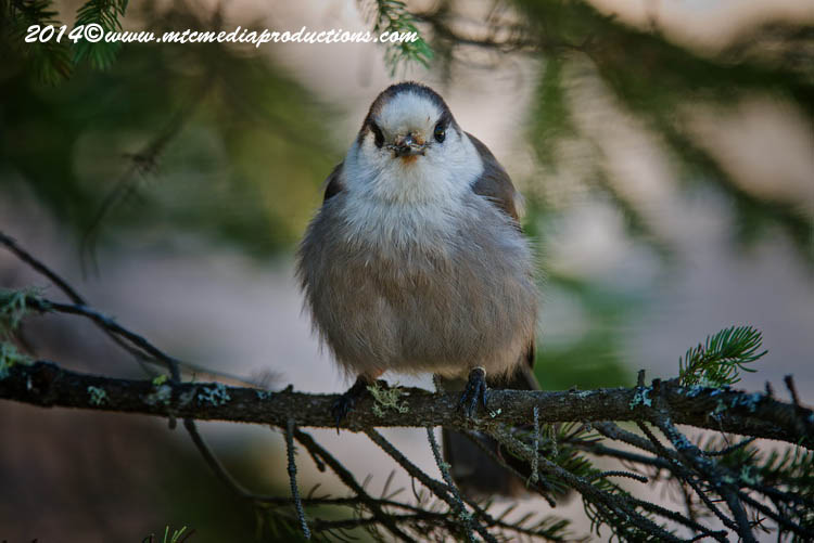 Gray Jay Picture-519