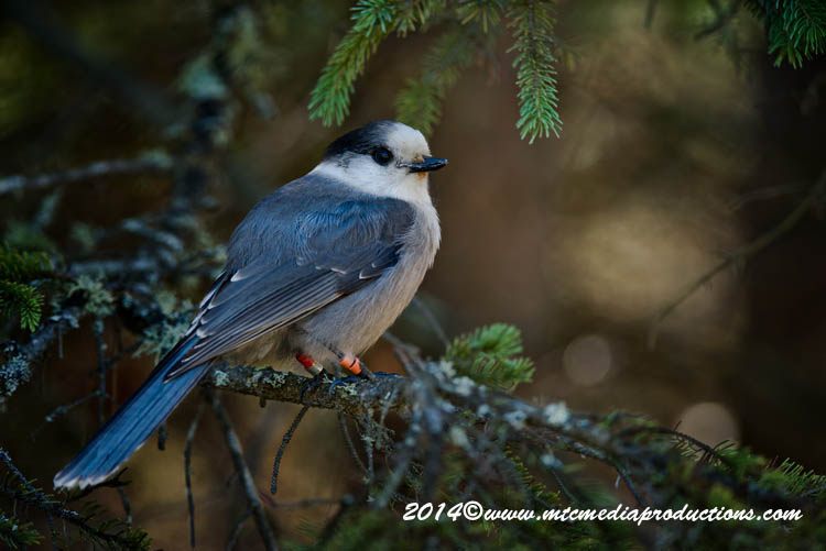 Gray Jay Picture-520