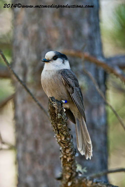 Gray Jay Picture-521