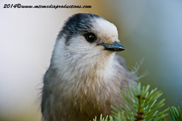 Gray Jay Picture-522