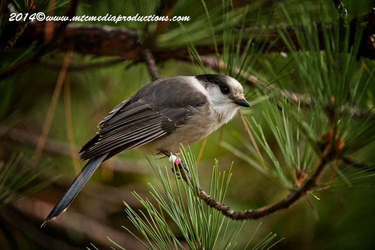 Gray Jay Picture-523