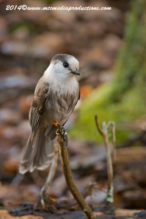 Gray Jay Picture-524