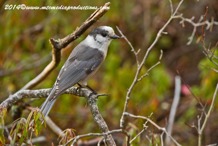 Gray Jay Picture-525