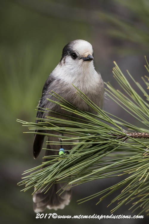 Gray Jay Picture