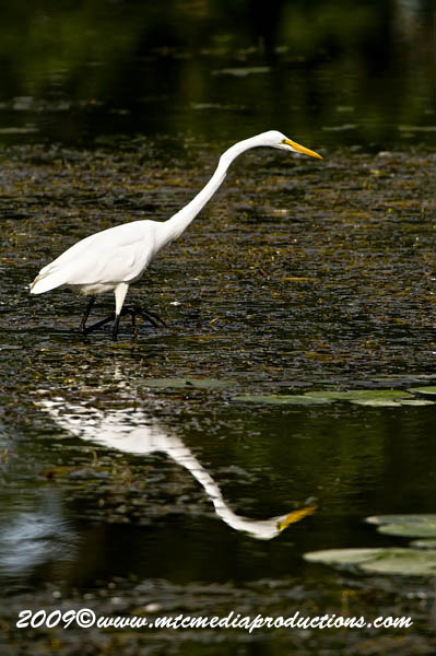 Great Egret Picture-103