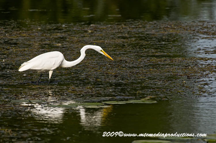 Great Egret Picture-104