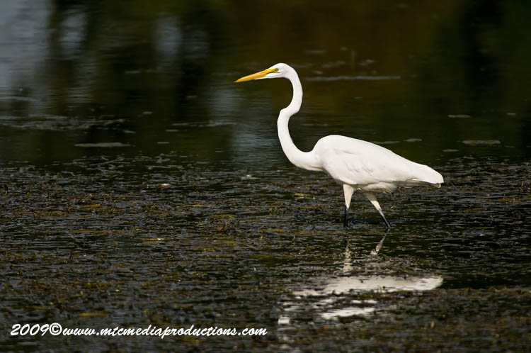 Great Egret Picture-105