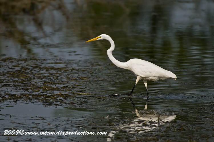 Great Egret Picture-106