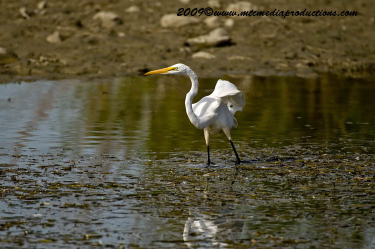 Great Egret Picture-107