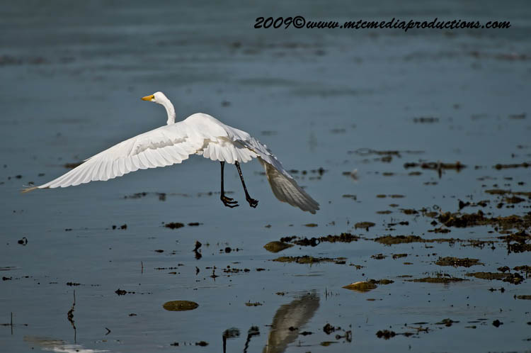 Great Egret Picture-108