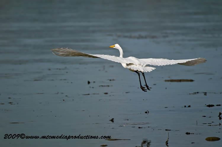 Great Egret Picture-109