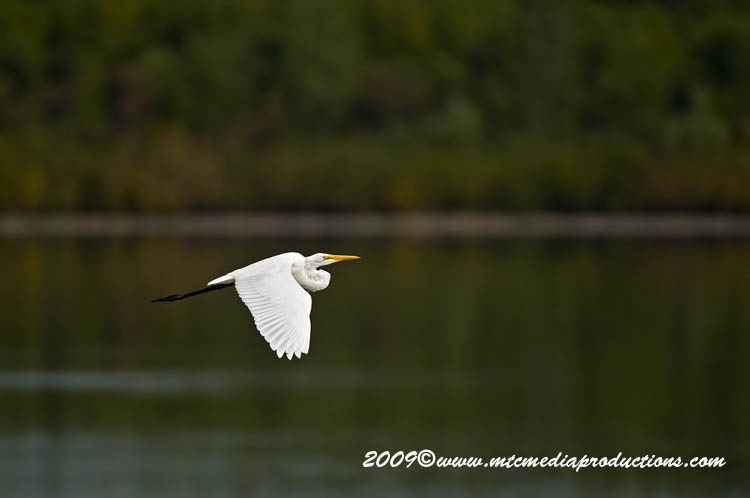 Great Egret Picture-110