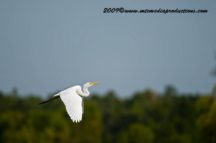 Great Egret Picture-111