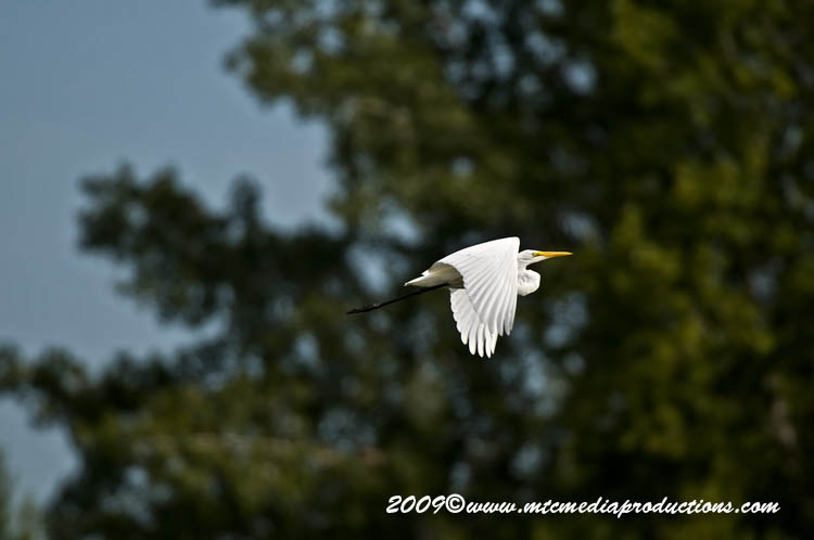 Great Egret Picture-112
