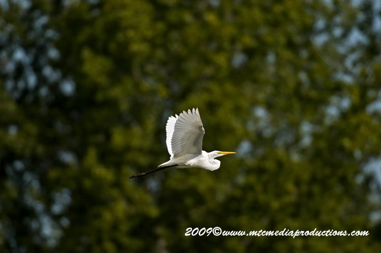 Great Egret Picture-113